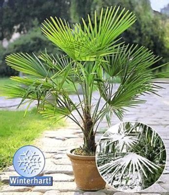 winterharte kuebel palmen trachycarpus fortunei von