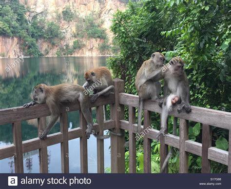 Monkeys In Bukit Timah Nature Reserve, Singapore Stock