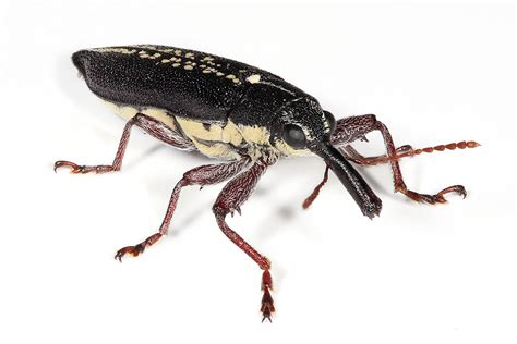 weevil bug insect endangered animals facts wildlife pictures and videos