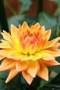 Gold Dahlia Flower