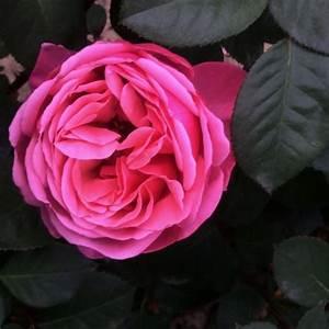 Sweet Parfum De Provence Rose