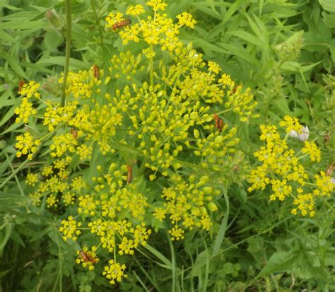 weeds with yellow flowers weeds with tiny yellow flowers bing images