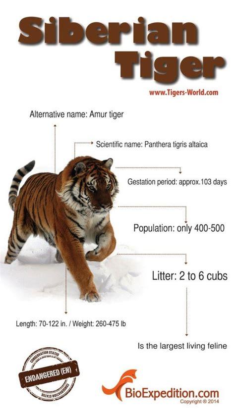 siberian tiger infographic
