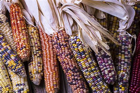 corn history with heirloom seeds cherokee nurture cultural history and future health takepart