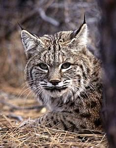 Bobcats - The North American Bobcat | Conservation Status ...