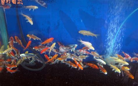 carpe koi dans aquarium introduire des carpes koi dans un aquarium