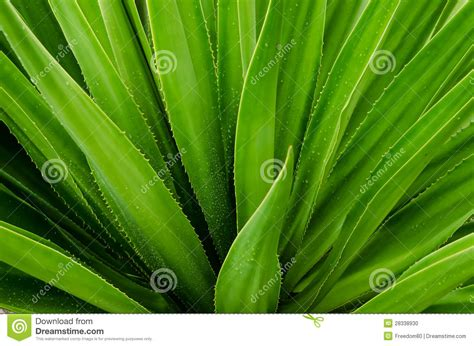 lidah buaya stock photo image