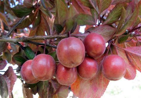 Cherry  Ee  Plum Ee   Fruit  Ee  Tree Ee   Bing Images