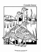Coloring Geese Colouring Goose Canada Printable Sheets Popular sketch template