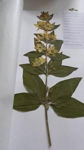 Was Ist Ein Herbarium : hallo ich lege gerade ein herbarium an und habe probleme herauszufinden um welche pflanzen es ~ A.2002-acura-tl-radio.info Haus und Dekorationen