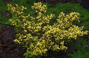 Ilex Crenata Krankheiten : evergreen shrubs my aberdeen garden ~ Orissabook.com Haus und Dekorationen