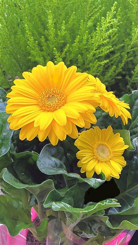 margherite fiori margherite fiori bellissimi fiori giardino di fiori e