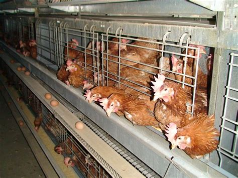 afc enriched battery cages