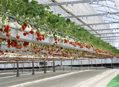 le de culture led eclairage led horticole et culture de la fraise horticoled