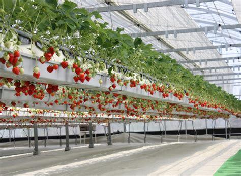 eclairage led horticole et culture de la fraise horticoled