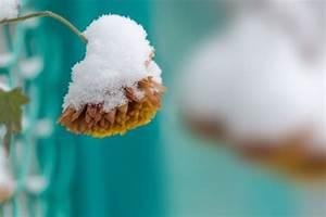 Welche Kräuter Sind Winterhart : chrysanthemen pflanzen pflegen d ngen und mehr ~ Pilothousefishingboats.com Haus und Dekorationen