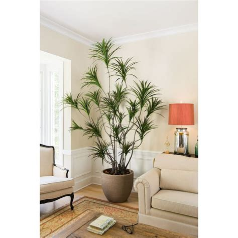 dramatic dracaena tree  give  home   taste