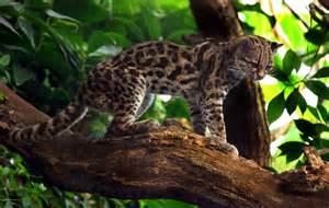 Wild Cat Species
