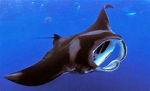 Epic Creature Of The Month   Manta Ray