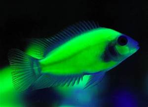 Could Bioengineered Glowing Fish Change the Aquarium
