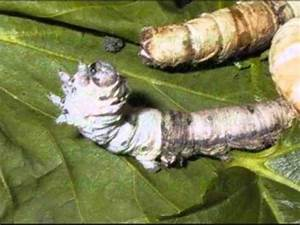 silkworm life c... Silkworm
