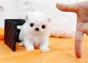 Micro Teacup Maltese Puppies | 332793 South Africa Baby ...