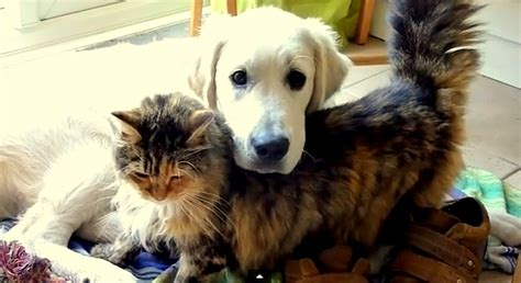 maine coon loves  golden retriever life  dogs