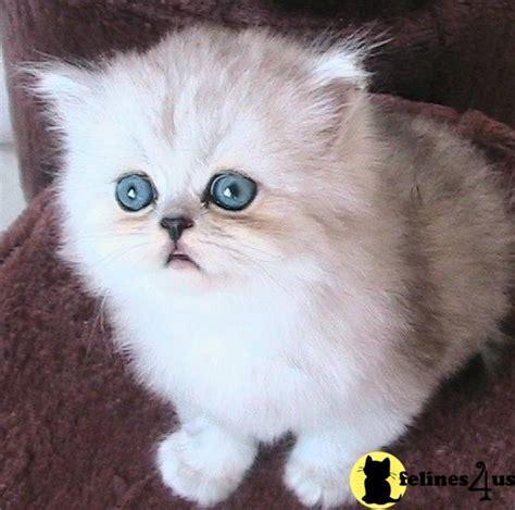Munchkin Cat Price Uk