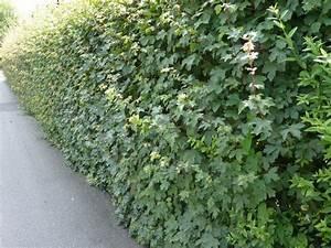 Rankpflanzen Winterhart Immergrün : heckenpflanzen archive pflanzenversand24 ~ A.2002-acura-tl-radio.info Haus und Dekorationen