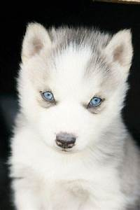 white husky puppies with blue eyes | Zoe Fans Blog | Cute ...