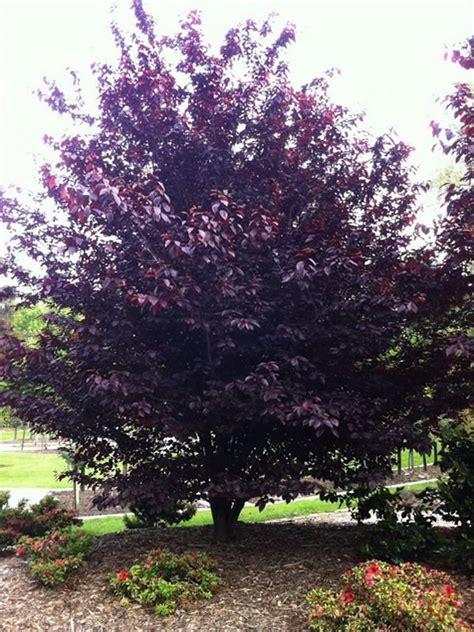 Prunus Cerasifera Nigra Purple Leaf  Ee  Plum Ee   Pers