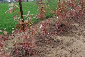 Arbuste Persistant Croissance Rapide : beautiful haie de jardin a croissance rapide photos ~ Premium-room.com Idées de Décoration