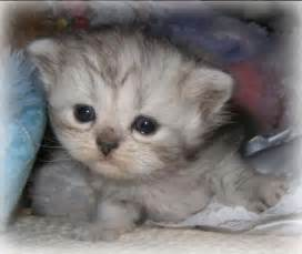 teacup cats for teacup kittens napoleons lambkins minipaws minipers