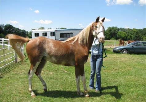 deaf frankie horses horse animals need arab bmp