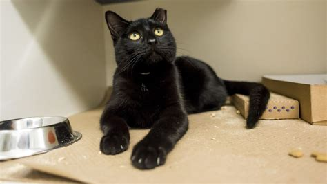 Aspca Waives Adoption Fees For Cats And Kittens On Black