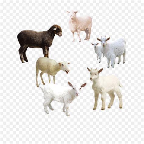 sheep goat  icon sheep album png