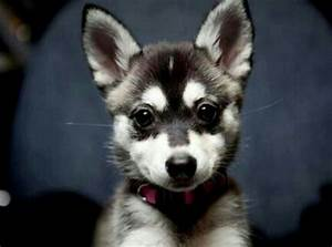 Australian cattle dog mixed with a husky | {family ...