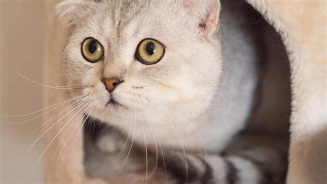 top   beautiful cat breeds   world