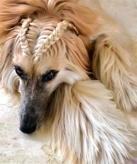 interesting hairstyles  afghan hounds petpress