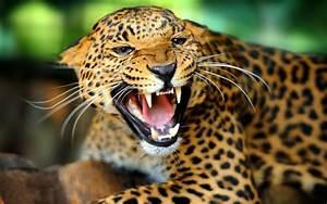 Jaguar Animal Wallpapers | Jaguar Pictures – Images 1080p ...