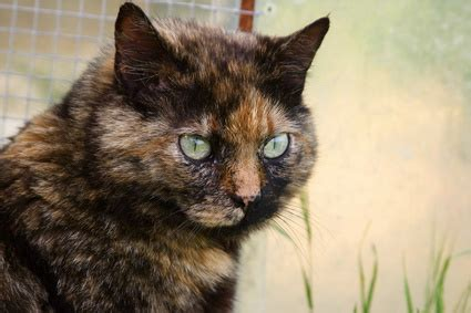 tortoise shell cat information pets