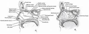 Sagittal Section Of The Nasal Cavity Showing The Lateral