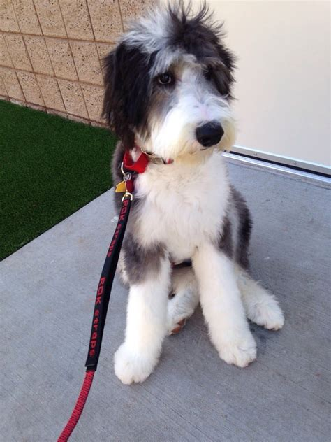 barnum sheepadoodle    haircut