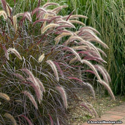 pennisetum setaceum rubrum purple grass purple fountain grass rubrum pennisetum setaceum purple