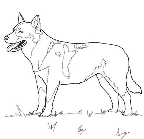 australian cattle dog coloring page  printable