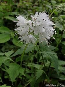 Hydrophyllum Virginianum  Virginia Waterleaf   Minnesota