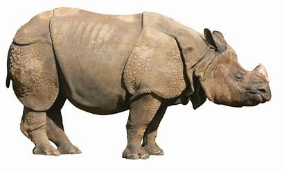 Rhino Rhinoceros Clipart Transparent Animals Clip Pngimg