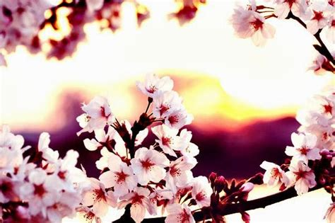 kata romantis wallpaper bunga sakura jepang cantik
