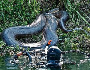42 best images about anaconda's snake on Pinterest | In ...