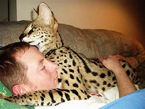 serval cat pet | Brian cat-napping with his pet African ...